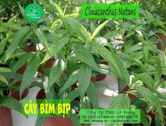 CAY BIM BIP